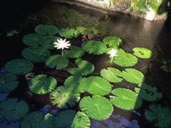 Bali-lilypond