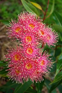Flowering-gum-flowers