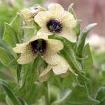 Hyoscyamus niger - homeopathic medicine