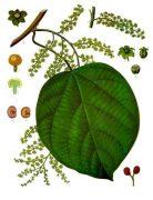 anamirta_cocculus_medizinal-pflanzen