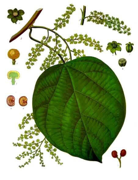 Cocculus the plant medicine used in homeopathy for sleep deprivation
