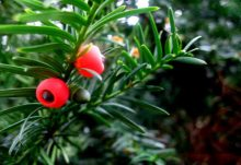Yew Tree - homeopathy