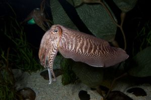 Sepia Cuttlefish