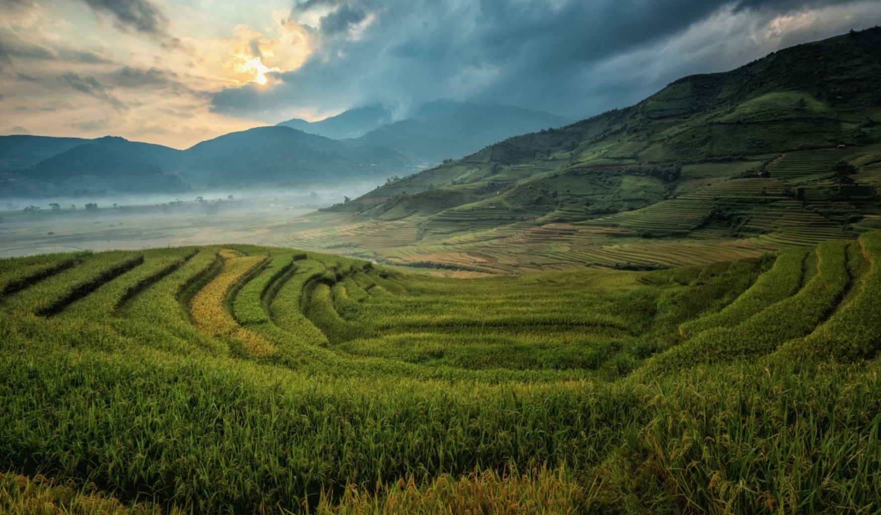 rice fields where agrohomeopathy is increasingly called for